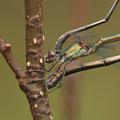 Westliche Weidenjungfer (Chalcolestes viridis) - Eiablage Detail
