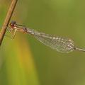 Zwerglibelle (Nehalennia speciosa) - Weibchen