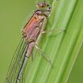 Große Pechlibelle (Ischnura elegans) - junges Weibchen (rosafarbene Farbform)
