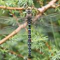 Aeshna juncea (Torf-Mosaikjungfer) - Männchen