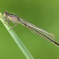 Große Pechlibelle (Ischnura elegans) - frisch geschlüpftes Weibchen
