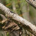 Aeshna juncea (Torf-Mosaikjungfer) - Weibchen