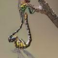 Onychogomphus forcipatus unguiculatus (Westliche Zangenlibelle) - Paarungsrad