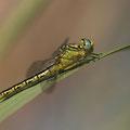 Gomphus simillimus (Gelbe Keiljungfer) - Weibchen