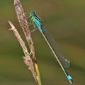 Große Pechlibelle (Ischnura elegans) - Weibchen