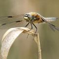 Vierfleck (Libellula quadrimaculata) - Männchen