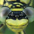 Gomphus pulchellus (Westliche Keiljungfer) - Kopfporträt