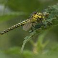 Gomphus simillimus (Gelbe Keiljungfer) - junges Weibchen