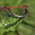 Gemeine Heidelibelle (Sympetrum vulgatum) - Paarungsrad