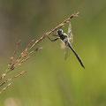 Somatochlora flavomaculata (Gefleckte Smaragdlibelle) - Männchen