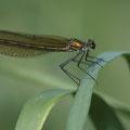 Gebänderte Prachtlibelle (Calopteryx splendens) - Weibchen