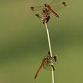 Gebänderte Heidelibelle (Sympetrum pedemontanum) - Zwei Männchen