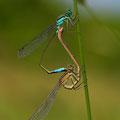 Große Pechlibelle (Ischnura elegans) - Paarungsrad