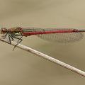 Frühe Adonislibelle (Pyrrhosoma nymphula) - Männchen