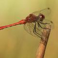 Blutrote Heidelibelle (Sympetrum sanguineum) - Männchen