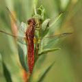 Feuerlibelle (Crocothemis erythraea) - männchenfarbenes Weibchen