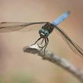 Kleiner Blaupfeil (Orthetrum coerulescens) - Männchen