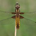 Plattbauch (Libellula depressa) - Weibchen
