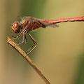 Gemeine Heidelibelle (Sympetrum vulgatum) - Männchen