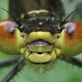Großes Granatauge (Erythromma najas) - junges Männchen, Porträt