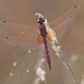 Violetter Sonnenzeiger (Trithemis annulata) - Männchen