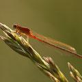 Kleine Pechlibelle (Ischnura pumilio) - junges Weibchen