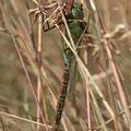 Aeshna viridis (Grüne Mosaikjungfer) - Männchen im tiefen Gras