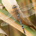 Aeshna mixta (Herbst-Mosaikjungfer) - Männchen