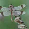 Gebänderte Heidelibelle (Sympetrum pedemontanum) - Männchen
