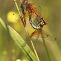 Gefleckte Heidelibelle (Sympetrum flaveolum) - Paarungsrad