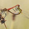 Sumpf-Heidelibelle (Sympetrum depressiusculum) - Paarungsrad