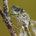 Kleine Binsenjungfer (Lestes virens) - Männchen