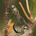 Somatochlora alpestris (Alpen-Smaragdlibelle) - Paarungsrad