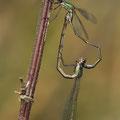 Westliche Weidenjungfer (Chalcolestes viridis) - Paarungsrad