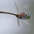 Somatochlora metallica (Glänzende Smaragdlibelle) - Männchen