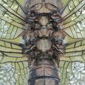 Großer Blaupfeil (Orthetrum cancellatum) - älteres Weibchen: Details