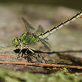 Ophiogomphus cecilia (Grüne Flussjungfer) - Weibchen mit Eiballen