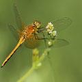 Gefleckte Heidelibelle (Sympetrum flaveolum) - junges Männchen