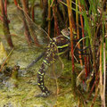 Aeshna juncea (Torf-Mosaikjungfer) - Weibchen bei der Eiablage