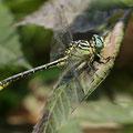 Stylurus flavipes (Asiatische Keiljungfer) - Männchen