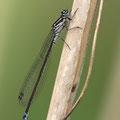 Fledermaus-Azurjungfer (Coenagrion pulchellum) - Weibchen