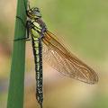 Brachytron pratense (Früher Schilfjäger) - frisch geschlüpftes Weibchen