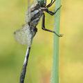 Östlicher Blaupfeil (Orthetrum albistylum) - Männchen