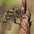 Cordulegaster boltonii (zweigestreifte Quelljungfer) - Männchen