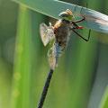 Anax parthenope (Kleine Königslibelle) - Männchen