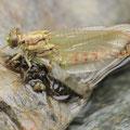 Onychogomphus forcipatus unguiculatus (Westliche Zangenlibelle) - Schlüpfendes Männchen