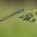 Große Pechlibelle (Ischnura elegans) - junges Weibchen (violette Farbform)