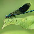 Gebänderte Prachtlibelle (Calopteryx splendens) - Männchen