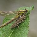 Gomphus vulgatissimus (Gemeine Keiljungfer) - schlüpfendes Weibchen