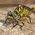 Onychogomphus forcipatus unguiculatus (Westliche Zangenlibelle) - junges Weibchen